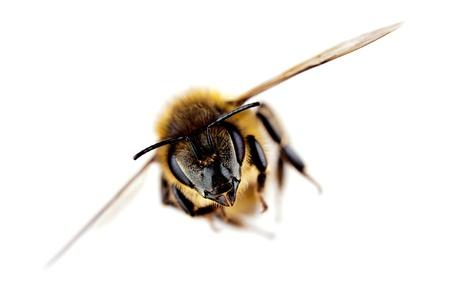 wesp: Westerse honingbij tijdens de vlucht, met een sterke focus op zijn kop, geïsoleerd op wit