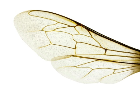 西部の蜂蜜の蜂、セイヨウミツバチ、翼幅 18 mm、白で隔離されるの翼