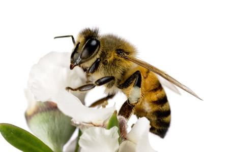 abeja: Abejas, Apis mellifera, en reposo de flor de árbol de té australiano