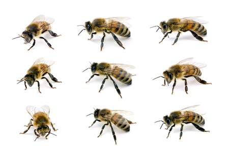 apis: Bee, Apis mellifera, European or Western honey bee, various views isolated on white, wingspan 18mm Stock Photo