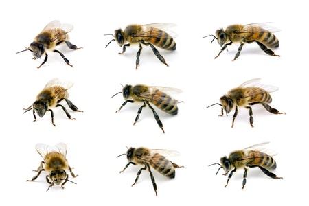 miel de abeja: La abeja, Apis mellifera, la abeja europea o occidental de miel, varios puntos de vista aislado en blanco con alas de 18 mm Foto de archivo