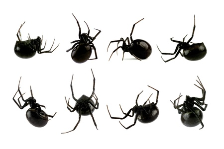 widow: Spider, Black Widow, Lacrodectus Hasselti, female, various views isolated on white, length 14mm