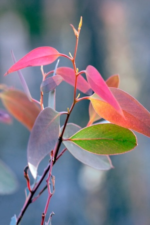 Eucalyptus leaves, juvenile leaf colors