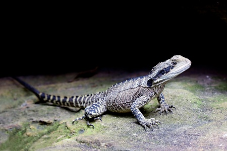 semi aquatic: Eastern water dragon (Physignathus lesueurii) body length up to 80cm Stock Photo