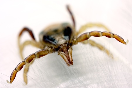 Australian paralysis tick, (Ixodes Holocyclus), with sharp focus on head