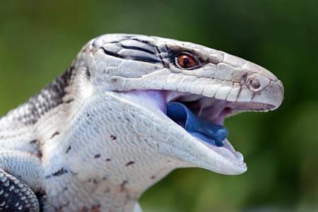 푸른 혀 skink입니다, 몸 길이 35cm 스톡 콘텐츠