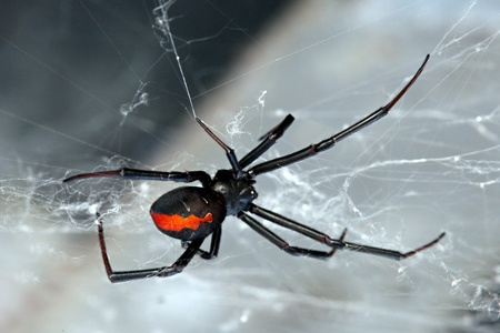 stinger: Spider, Red-back, Lacrodectus Hasselti, female Australian spider at rest in web
