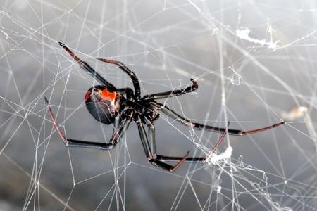 widow: Spider, Red-back, Lacrodectus Hasselti, female Australian spider underside