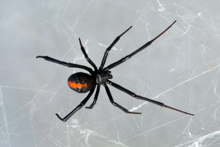 Spider, Redback or Black Widow, Latrodectus hasselti, female at rest on web photo