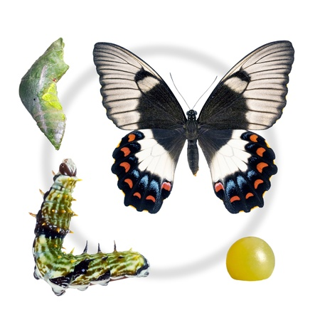 chrysalis: Butterfly, Orchard Swallowtail, Papilio Aegeus, lifecycle stages