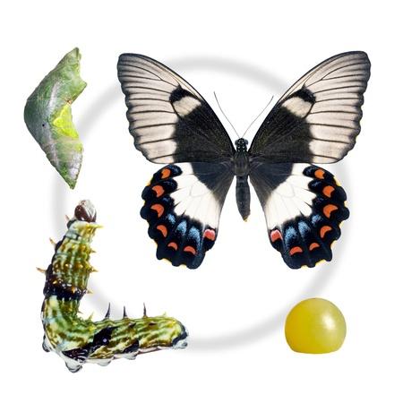 oruga: Mariposa, Orchard Golondrina, Papilio Egeo, las etapas del ciclo de vida