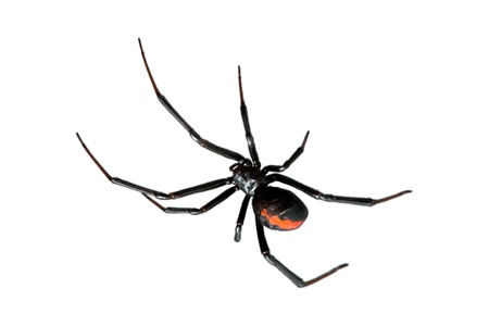 arachnid: Spider, Redback or Black Widow, Latrodectus hasselti, isolated on white
