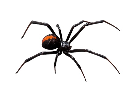 spider: Spider, Redback or Black Widow, Latrodectus hasselti, isolated on white