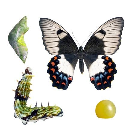 ciclo de vida: Mariposa, Orchard Golondrina, Papilio Egeo, las etapas del ciclo de vida