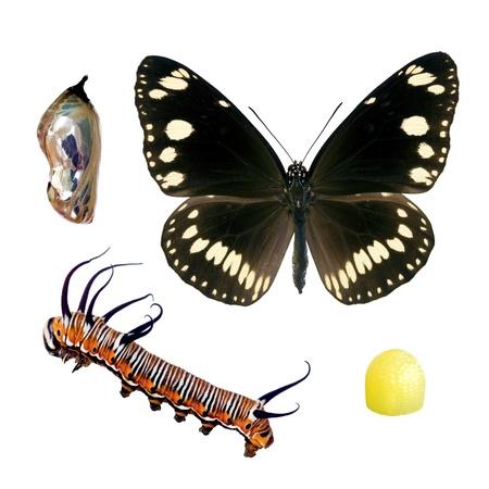 oruga: Butterfly, Oleander o cuervo común, las etapas del ciclo de vida aislados en blanco, envergadura 72 mm Foto de archivo