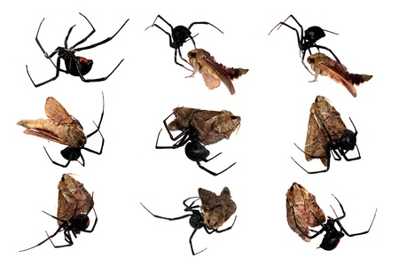 widow: Spider, Redback, female, various views of immobilizing and packaging a moth