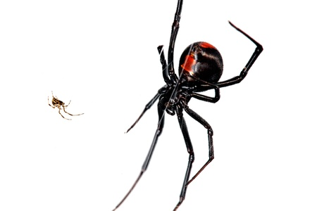 relative: Spider, Red-back, Lacrodectus Hasselti, male and female relative sizes