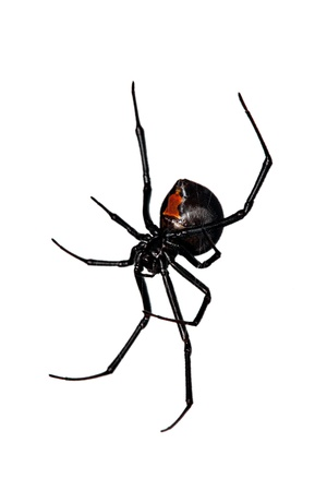 widow: Spider, Red-back underside, characteristic red bottle shaped mark