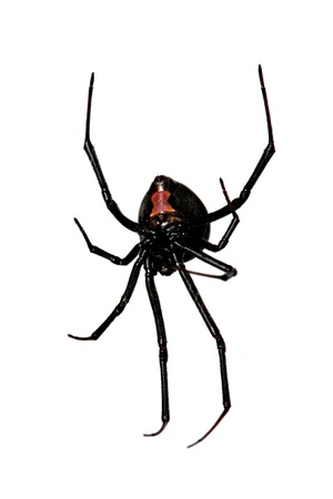 characteristic: Spider, Red-back underside, characteristic red bottle shaped mark