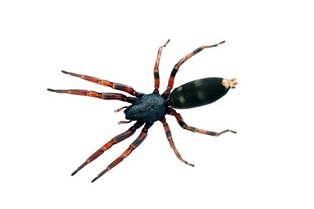 white tailed: Spider, white-tailed  Lampona species, body length 16mm Stock Photo