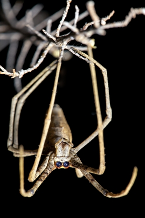 front facing: Spider, Net-casting, with focus on front facing eyes used for binocular vision  Stock Photo