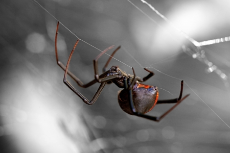 spider web: Spider, Redback or Black Widow at rest in chaotic web