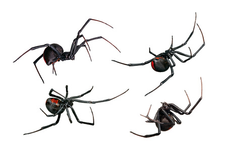 spiders: Black Widow and Red back views isolated on white