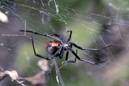 Australian Red-back spider at rest on web