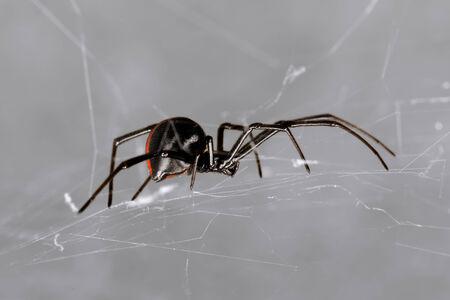 arachnophobia: Australian Red-back spider at rest on web