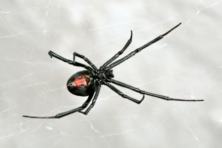 Australian Red-back spider at rest on web in sandstone crevice Stock Photo