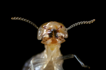 extreme macro: termite with focus on head and mouth parts