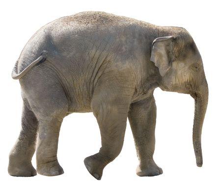 Odosobnione młodych słoni afrykańskich na białym tle.