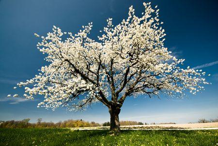 Pojedyncze kwitnących wiosną drzewo. Zdjęcie Seryjne
