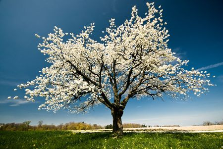 solitary tree: Single blossoming tree in spring.