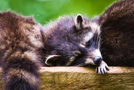 Sleeping racoons (lat. Procyon lotor), focus is on the eyes. photo