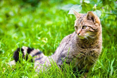 sidewards: african wildcat in meadow (lat. Felis silvestris), focus is on the eyes