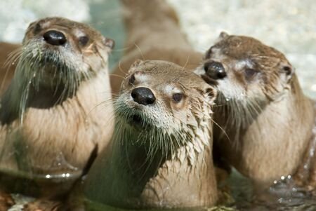 Three otters. Focus on the on in the middle. photo