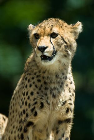 observant: Observant cheetah with green background.