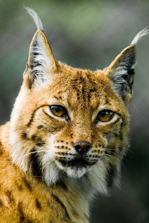 lynx: Portrait of a Lynx. Focus is on the eyes.