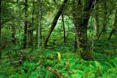 dosh: primeval forest on routeburn track, fiordland national park, new zealand. Stock Photo