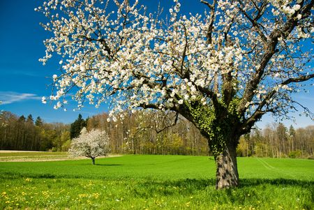 april flowers: Blossoming chery tree in spring Stock Photo