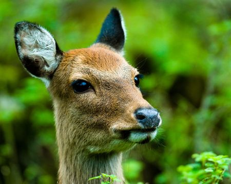 nippon: portrait of a curious looking sika deer (lat. Cervus nippon), focus is on the eyes