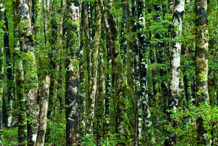 dosh: green forest with dosh, nelson lakes, new zealand
