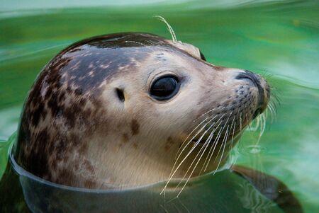 Młoda Seal Harbor (łac. Phoca vitulina) z głową nad zieloną wodą