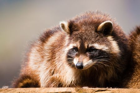 racoon (lat. Procyon lotor), focus is on the eyes photo