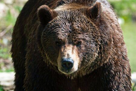 arctos: orso bruno (Ursus arctos lat.) ritratto Archivio Fotografico