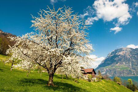 Kwitnąca wiśnia drzewa wiosną w wiejskiej scenerii na jezioro lucern