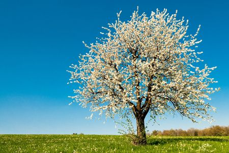 single blossoming cherry tree in spring photo
