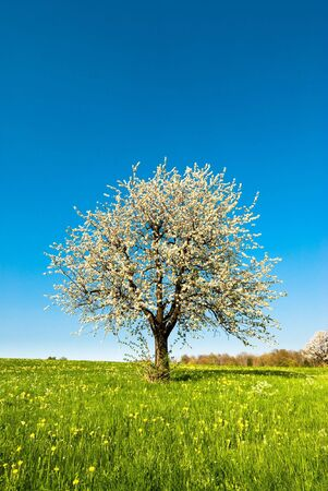 single blossoming cherry tree in spring on a green meadow Stock Photo