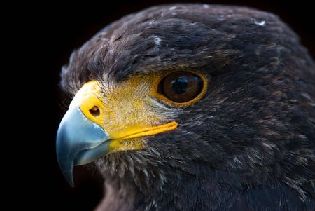 Portrait of a Harris Hawk (lat. Parabueto unicinctus) photo